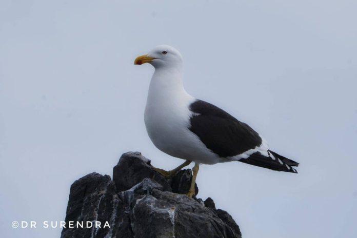 The Kelp Gull