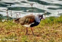 The Southern Lapwing
