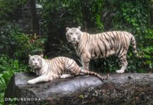 The white tigers of Singapore zoo.
