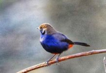 The Indian Robin