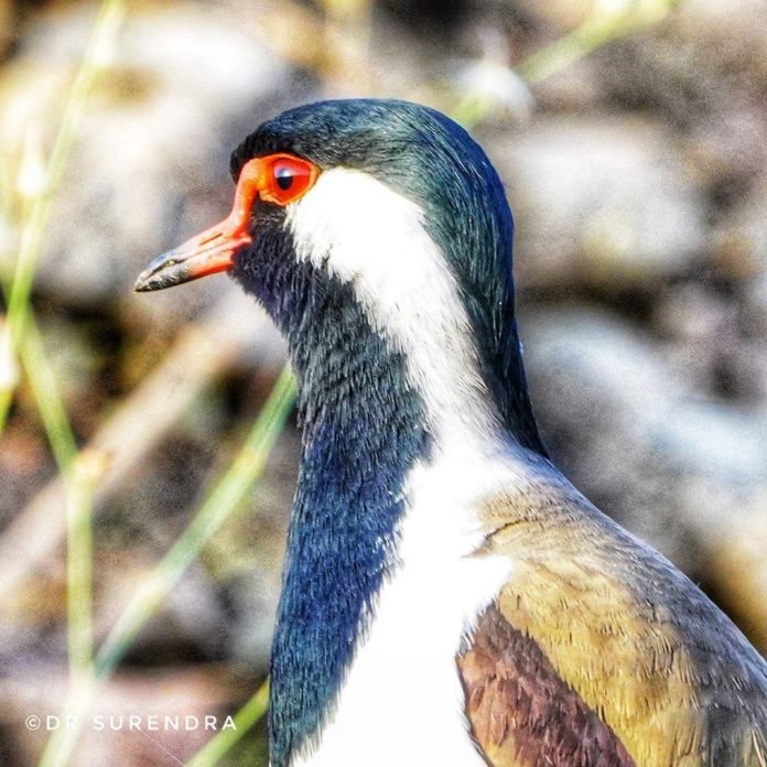 The red-wattled lapwing