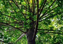 The tree with ancient history