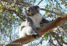 Kaola - a native of Australia and a marsupial like Kangaroo