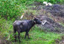 Beauty on a buffalo