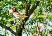 *My Picture of the day* - The Spotted Munia also known as scaly-breasted Munia - seen at the forest trail near Vijayawada. ****** Dr.Surendra www.instagram.com/dr.surendra.2017