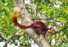 *My Picture of the day* - The Indian Giant Squirrel - also known as Malabar giant Squirrel, seen in the forest trail, Coorg Karnataka. ****** Dr.Surendra www.instagram.com/dr.surendra.2017
