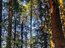 Himalayan Cedars - known as Deodar