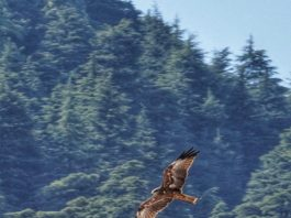 Black kite hovering the sky