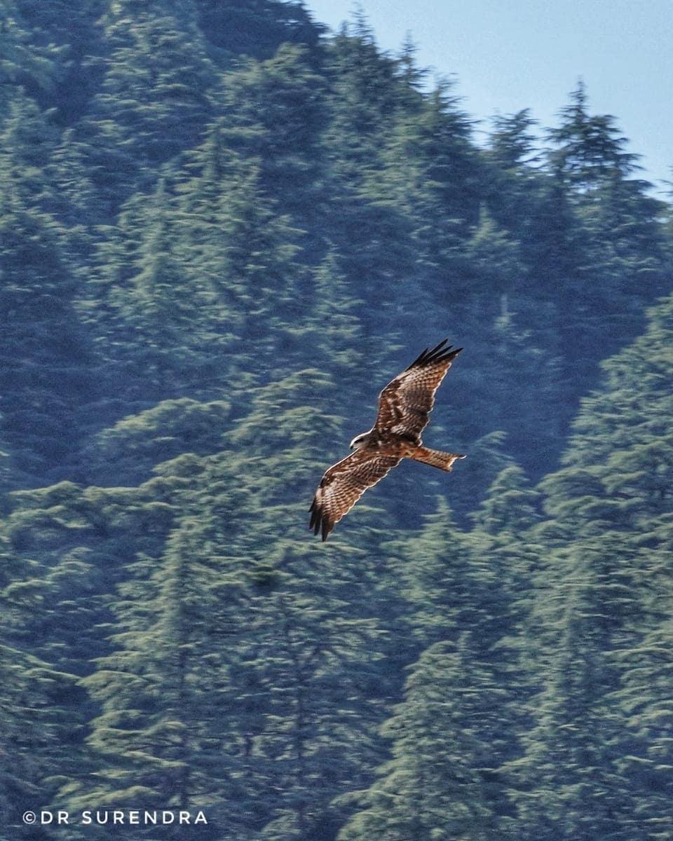 Black kite hovering the sky