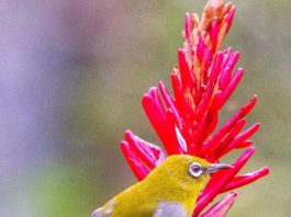 The Indian white-eye (Zosterops palpebrosus)