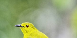 The Golden-browed bulbul