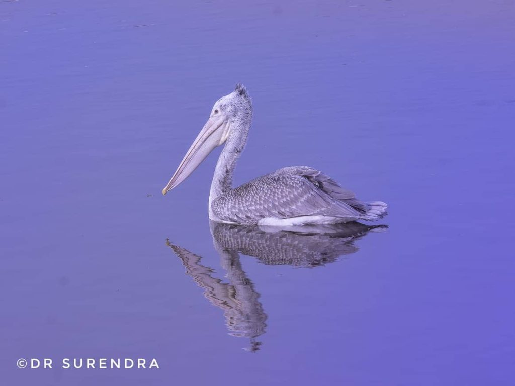 *My Picture of the day* - The Spot billed pelican - classified as near threatened due to decreasing numbers, seen at Uppalapadu Bird sanctuary near Guntur Andhra Pradesh. ****** Dr.Surendra www.instagram.com/dr.surendra.2017 — in Uppalapadu, Andhra Pradesh, India .