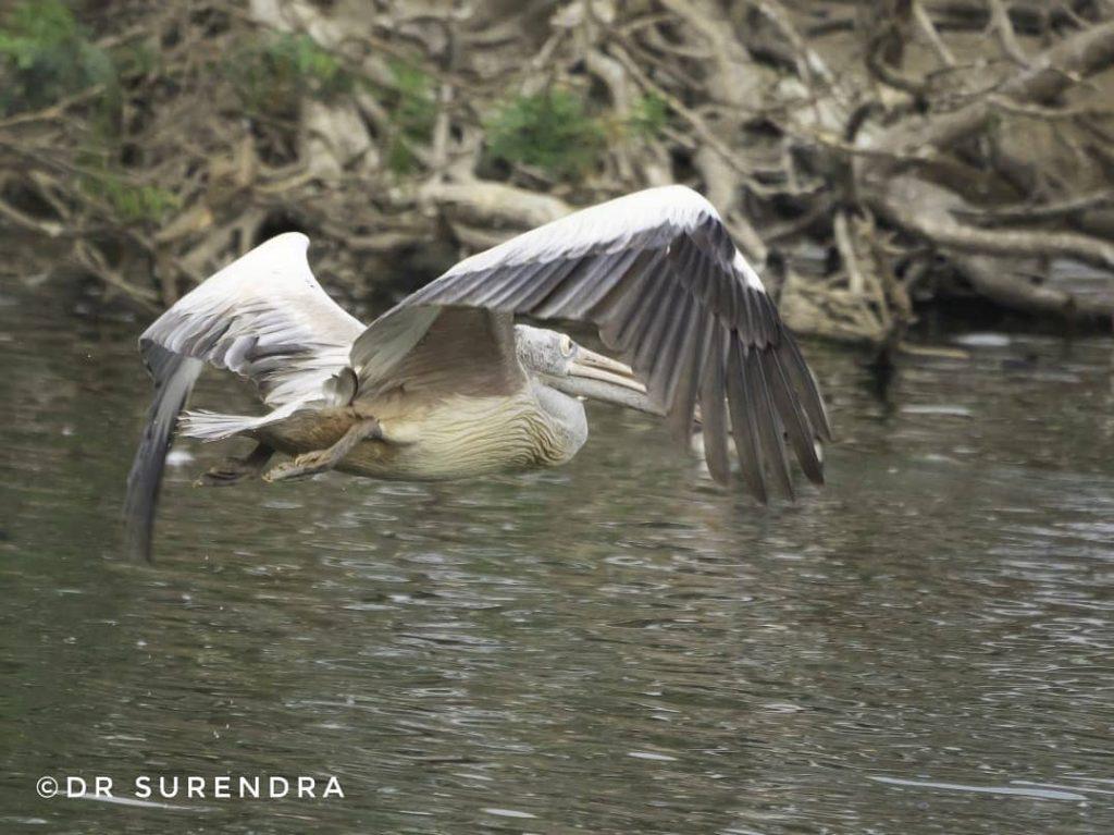 Spot billed pelican in flight
