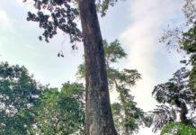 Andaman Padauk tree