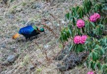 The Himalayan monal (Lophophorus impejanus)