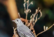 The Mistle thrush (Turdus viscivorus)