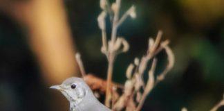 The Mistle thrush (Turdus viscivorus)