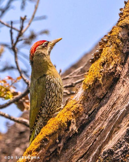 The scaly-bellied woodpecker