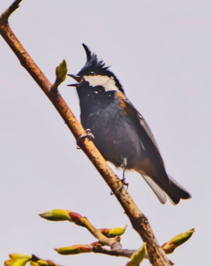 The Rufous-vented