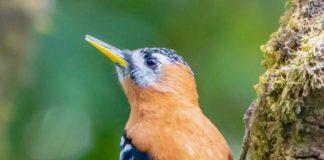 The rufous-bellied woodpecker