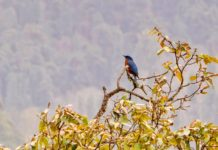 Surveying the scene - The chestnut-bellied rock thrush