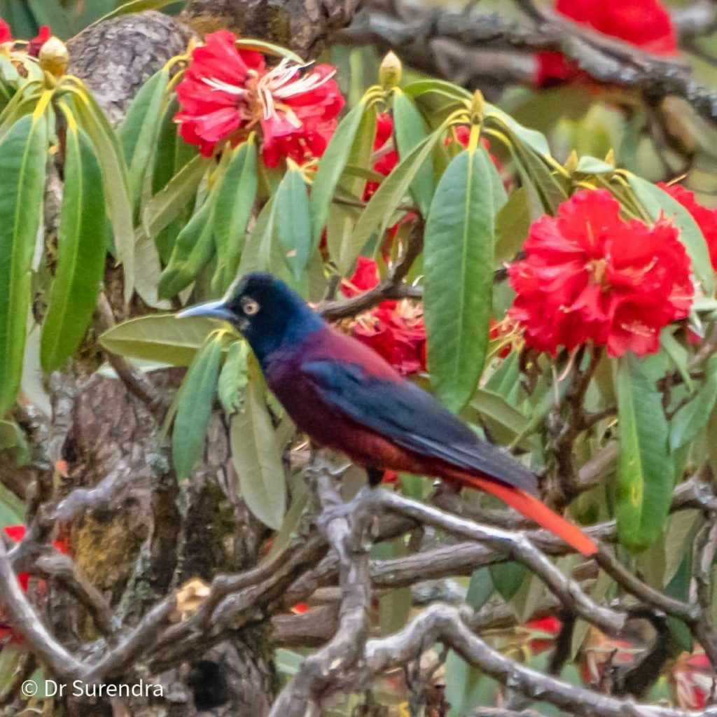 The maroon oriole