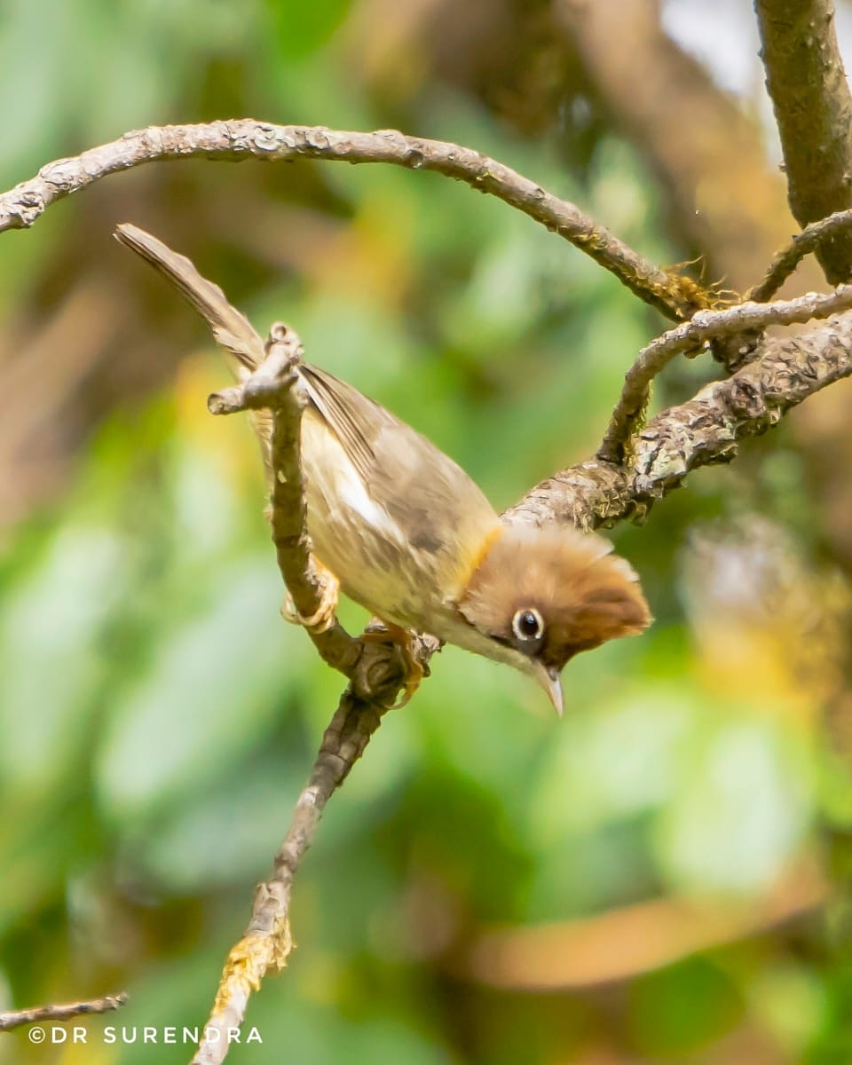 The whiskered yuhina