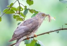 Meal time for the Cuckoo