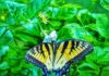 *My Picture of the day* Butterfly with tiger stripes - The yellow butterfly with four stripes on either side is native to Eastern North America. It is the state butterfly of Alabama and known as Eastern Tiger Swallowtail, seen at Florence, Al. ***** *Dr.Surendra* — in Florence, Alabama