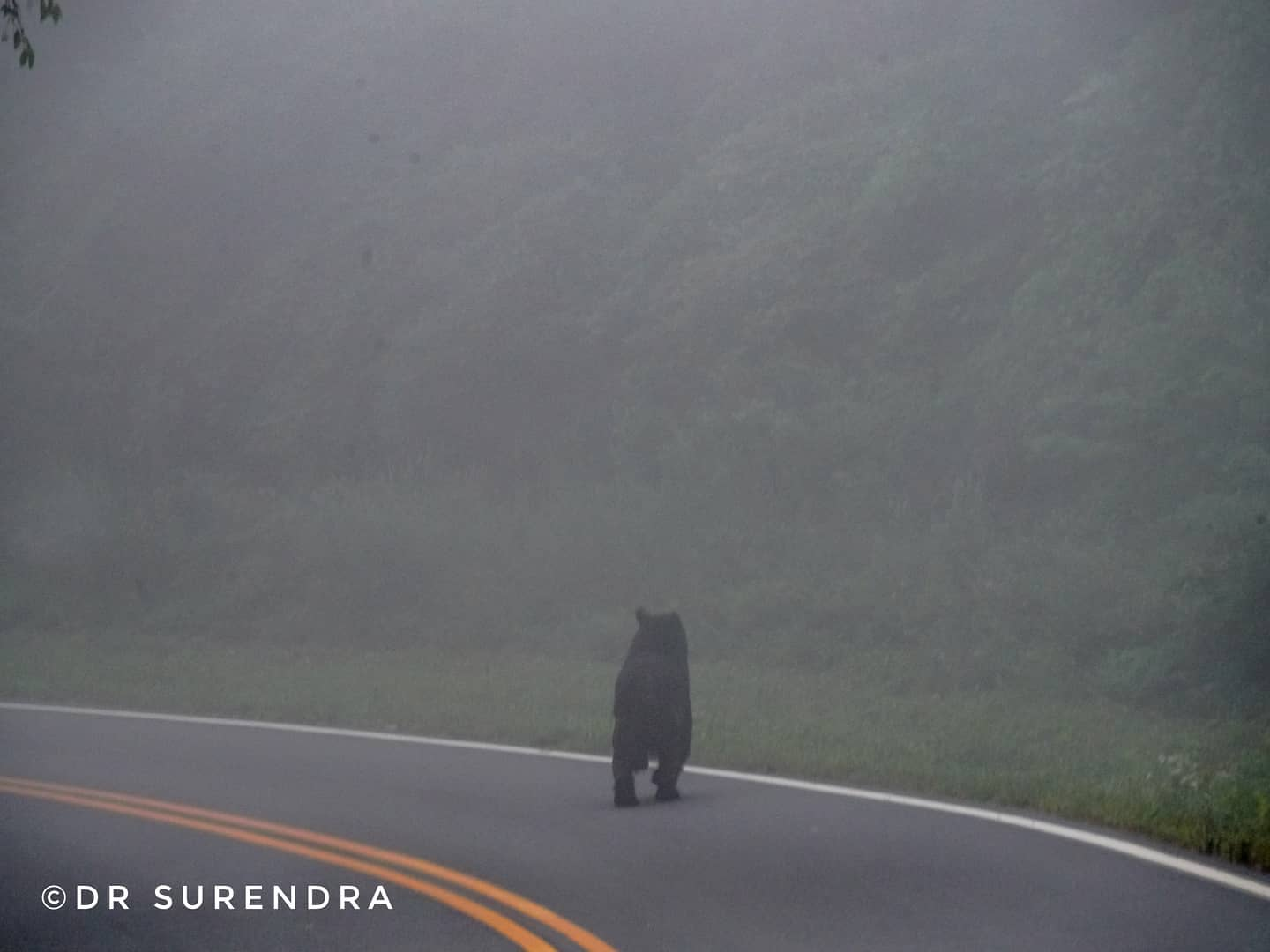 *My Picture of the day* Fleeting sight, Lasting memory - An American black bear made a rare appearance in the foggy evening during the scenic Skyline drive in the blue ridge mountains of Virginia US. ***** *Dr.Surendra* — at Blue Ridge Mountains - Virginia