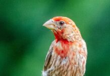 *My Picture of the day* The American Rosefinch - small and cute, seen at Florence Alabama. ***** *Dr.Surendra* — in Florence, Alabama.