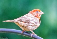 *My Picture of the day* The American Rosefinch - a passerine bird with various shades of red seen throughout the north American continent. ***** *Dr.Surendra* — in Florence, Alabama.