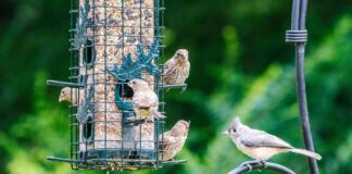 *My Picture of the day* Backyard beauties - sometimes there is a queue at the feeder. Seen at Florence Alabama. ***** *Dr.Surendra* — in Florence, Alabama.